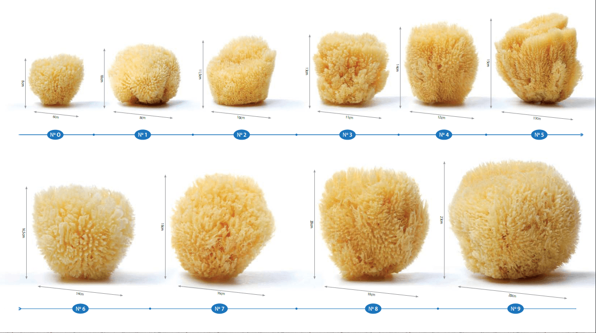 Commercial Dimentions Of Natural Sea Sponges - Spongean