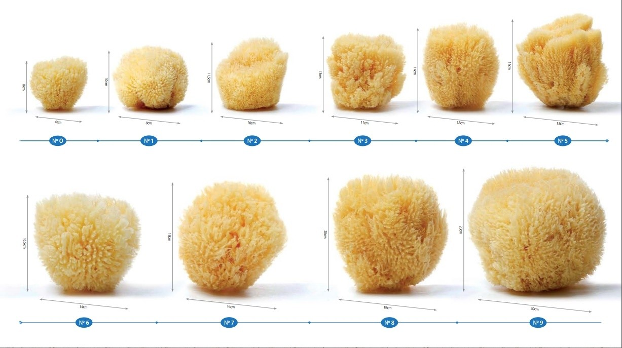 Commercial dimensions of natural sea sponges