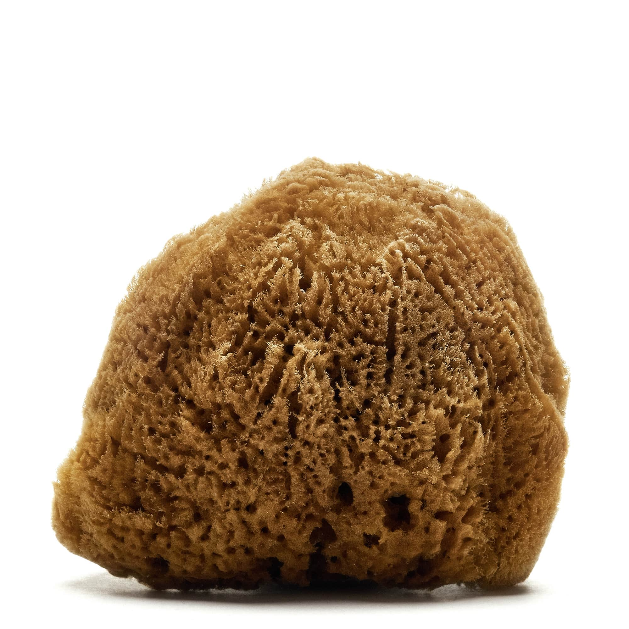 Hardhead or Silk Caribbean Sponge (Natural color)_2